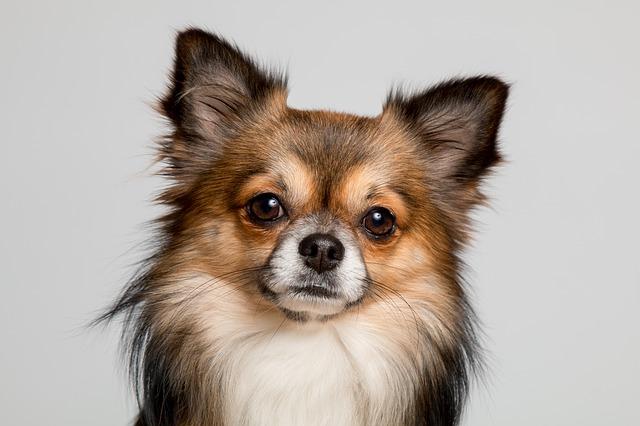 犬のイボ できものは良性か悪性か 症状 原因 解決法7つ